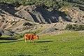 """פרה על כר דשא מול מצוקי טוף בשמורת טוף כרם מהר""""ל.jpg"""