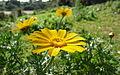 פרחים בישראל (102).JPG