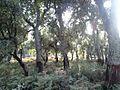 اشجار البلوط بني فتح.jpg