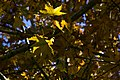 برگ زرد-پاییز-yellow leaves-falling leaves 02.jpg