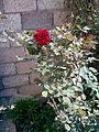 وردة جوري حمراء.jpg