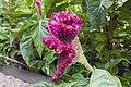 گل تاج خروس-Unidentified Amaranthus in iran 04.jpg