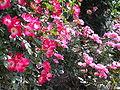北播磨余暇村公園のバラ混合P6023065.JPG