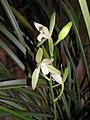 四季金邊鐵骨素 Cymbidium ensifolium 'Golden-Border Iron-Bone Plain' -香港沙田國蘭展 Shatin Orchid Show, Hong Kong- (12185646685).jpg