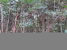 広島市・武田山の常緑広葉樹林.jpg