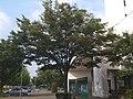 東京情報大学・本館前の樹木 - panoramio.jpg
