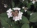 澤繡球(澤八仙) Hydrangea serrata -英格蘭 Wisley Gardens, England- (9229896356).jpg