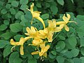 硬骨凌霄(洋淩霄) Tecomaria capensis v aurea -香港公園 Hong Kong Park- (9216098556).jpg