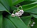 粉紅鈴蘭 Convallaria majalis v rosea -比利時 Ghent University Botanical Garden, Belgium- (9252462519).jpg