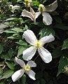 粉花繡球藤 Clematis montana v rubens -比利時國家植物園 Belgium National Botanic Garden- (9193429278).jpg