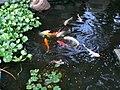 能満寺の池の鯉 - panoramio.jpg