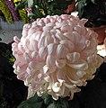 菊花-雪青蓮球 Chrysanthemum morifolium 'Pale Purple Lotus Ball' -香港圓玄學院 Hong Kong Yuen Yuen Institute- (12116181886).jpg