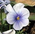 角堇 Viola Gem Frosty Blue -上海國際花展 Shanghai International Flower Show- (17315275606).jpg