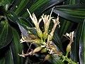 金黃百合竹 Dracaena reflexa Song of Jamaica -香港公園 Hong Kong Park- (9240254734).jpg