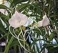 風蘭屬 Angraecum germinyanum -香港青松觀蘭花展 Tuen Mun, Hong Kong- (9229778520).jpg