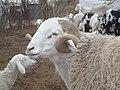-mouton 594104331.jpg