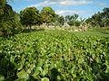 04506jfDomesticated Water Hyacinth Pescadores Poblacion Candaba Pampangafvf 14.JPG