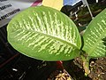0546La Suerte lucky plant in the Philippines 03.jpg