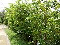 09671jfVillage Creek Atis Banana Plants San Miguel Bulacanfvf 01.JPG