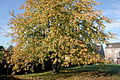 0 Havré - Prunus avium (1).JPG