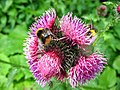 1527 - Nationalpark Hohe Tauern - Bees and fly on flowers.JPG