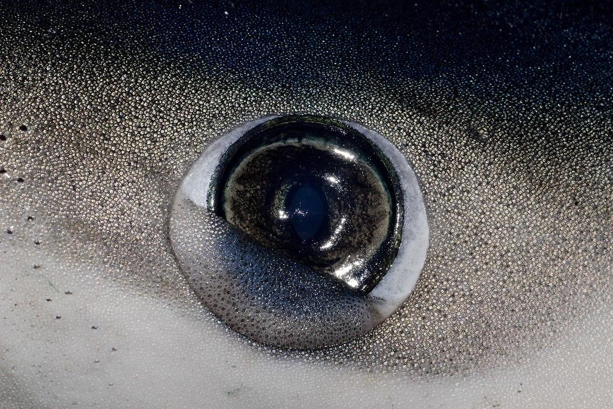 sharks have eyelids