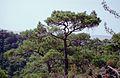 189Zypern Troodos Kalabrische Kiefer (13927841110).jpg