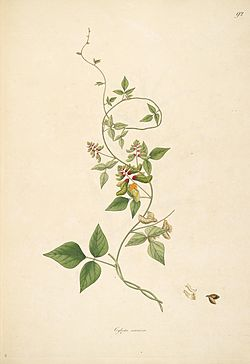 18th century illustration plants of the coast of Coromandel Coast India Flora Fruits Flowers (9).jpg