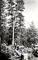 1923. Felled and peeled ponderosa pine ready to burn for insect control. Southern Oregon Northern California beetle control project. (32793665663).jpg