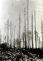 1932. Aphis abietina, Walk. damage to Sitka spruce. Pacific Beach, Washington. (39337306274).jpg