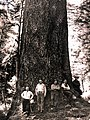1945. Axel Brandstrom (USFS), Harold Olsen, Walter J. Buckhorn, Robert L. Furniss, and author Stewart Holbrook. World's largest Douglas-fir, Klootchie Creek area. Clatsop County, Oregon. (35020106875).jpg