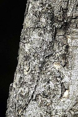 2005-Draco-dussumieri.jpg