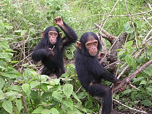 Young chimpanzees from Jane Goodall sanctuary ...