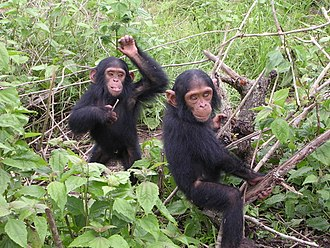 Chimpanzee - Young chimpanzees playing