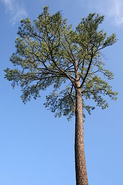 2008-07-24 Pine tree at Duke University.jpg