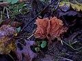 2008-11-25 Laccaria tortilis (Bolton) Cooke 221568.jpg