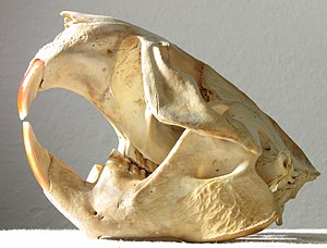 North American beaver - Skull of a North American Beaver found on San Francisco Bay shore