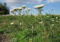 20120922Achillea millefolium3.jpg