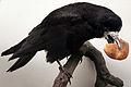2013-03 Corvus frugilegus anagoria.JPG