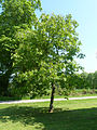 20130528 BlarneyCastle AesculusIndica Cutler P1470893 (9028244277).jpg