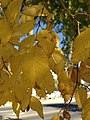 2014-10-11 14 51 28 Siberian Elm foliage during autumn in Elko, Nevada.JPG