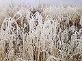 2014-12-17 13 45 49 Rime from freezing fog on cheat grass in Elko, Nevada.JPG