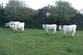 Vaynol cattle - Image: 2014 calves