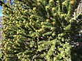 2015-07-13 07 50 54 Great Basin Bristlecone Pine foliage and pollen cones along the North Loop Trail about 5.7 miles west of the trailhead in the Mount Charleston Wilderness, Nevada.jpg