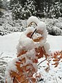 2015-11-02 07 32 01 A rose's snow-covered autumn foliage along the Truckee River Legacy Trail during a snowstorm at Truckee River Regional Park in Truckee, California.jpg