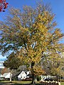 2015-11-15 10 06 57 A Pin Oak with yellowish autumn foliage along Terrace Boulevard in Ewing, New Jersey.jpg