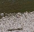 2015.07.11.-10-Mulde Eilenburg--Flussregenpfeifer.jpg
