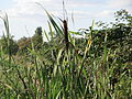 20150927Typha latifolia2.jpg