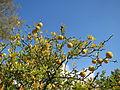 20151019Citrus trifoliata3.jpg