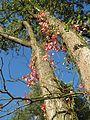 20161002Parthenocissus quinquefolia11.jpg